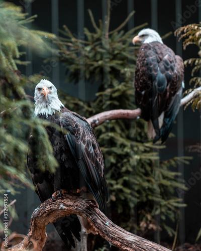 bird of prey Fototapet
