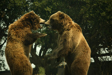 Two Grizzly Bears Playing And ...