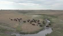 Bison Herd Crosses A Shallow V...