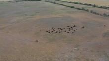 Bison Herd In Saskatchewan, Ca...