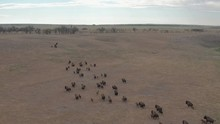 Bison Herd On The Move Through...