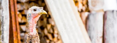 Obraz na płótnie turkey on a home farm. organic poultry farming.
