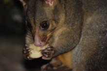 Possum Eating Apples