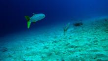 Barracuda Swimming Away
