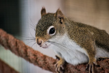 Closeup Shot Of A Fox Squirrel...