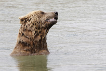 Close Up Shot Of A Grizzly Bear Swimming In A Lake