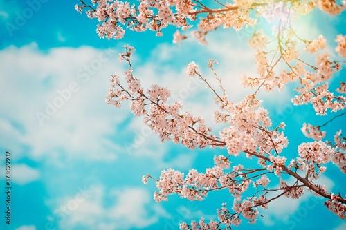 Obraz na plátne cherry blossom in spring