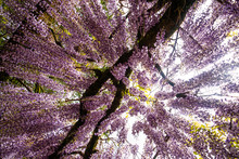 Low Angle Shot Of A Wisteria T...