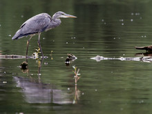 Close-up Of A Grey Heron (Ardea Cinerea) Searching For Food In The Shallow Water Of A Reservoir, Germany