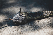 Snake Eating A Mouse Western T...