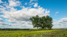 A Lone Tree Stands On A Green Meadow Against The Background Of Clouds In Summer