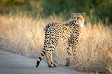 Young Cheetah Standing In Tall...