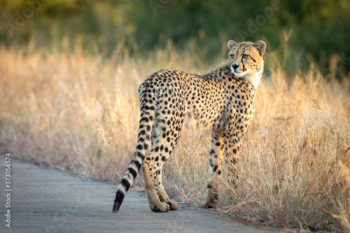Papel de parede Young cheetah standing in tall dry grass on the edge of the road in Kruger Park