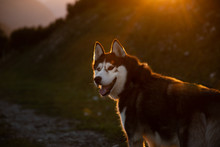 Lonely Sakhalin Husky Walking In The Mountains At Sunset In Austria, Tauplitz