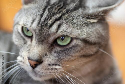 Fototapety, obrazy: 睨む猫  サバトラ猫