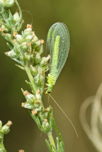Сommon Green Lacewing (Chrysoperla Carnea  On The Stem Of The Grass. Place For Text.