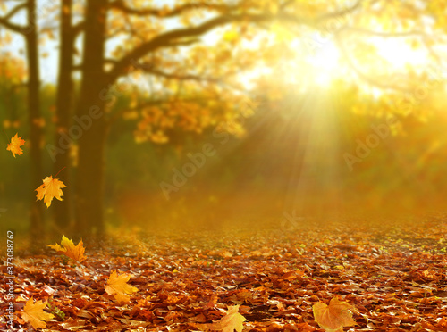 Obraz Beautiful autumn  landscape with yellow trees and sun. Colorful foliage in the park. Falling  leaves natural background . - fototapety do salonu