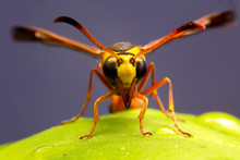Close Up Of The Paper Wasp On ...