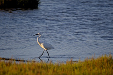 Closeup Shot Of A Graceful Great Egret Walking By The Water Of The Ebro Delta