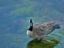 Canada Goose Swimming In Water