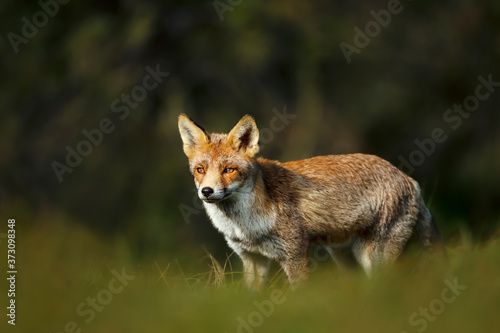 Canvastavla Close up of a young Red fox standing in grass
