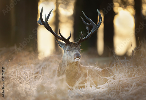 Canvastavla Red deer stag lying on frosty grass in early winter