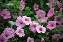Closeup Of Rain Drops On Pink Petunia In A Public Garden