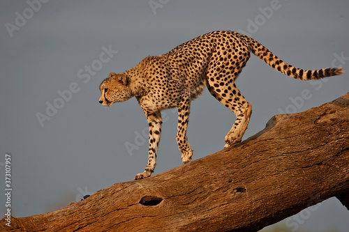 Cheetah on a tree stump Fototapet