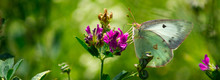 Macro Closeup Shot Of A Clouded Sulphur Butterfly Perched On A Purple Burclover Flower