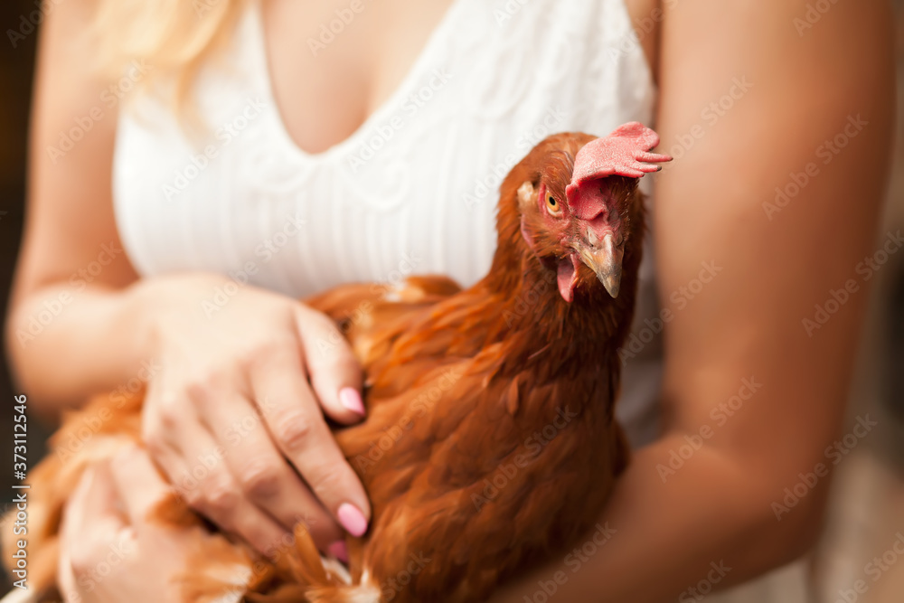 Fototapeta Woman holding a chicken in a chicken house. Farm animals.