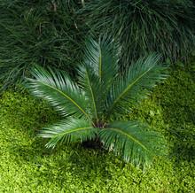 Cycas Revoluta Sago Palm. Botanical Garden, KIT, Karlsruhe, Germany, Europe