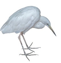 The Snow White Egret On A White