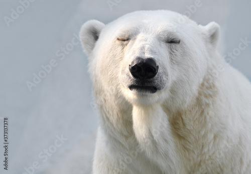 Fotografie, Obraz white polar bear