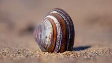Closeup Shot Of Seashell On Sand