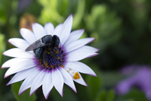 Closeup Shot Of A Bee Sitting On A Beautiful African Daisy