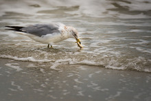 A Close Up Of A Seagull In The Surf At The Beach With A Small Fish In His Mouth.