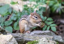 Eastern Chipmunk (Tamias Striatus) Eating Acorn.