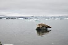 Robbe Im Wasser Und In Einer Gletscherlagune Auf Island