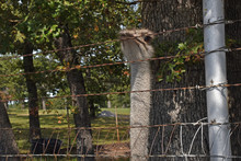 Ostrich Head Over Fence