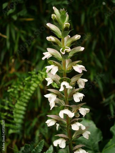 Fotomural Vertical shot of beautiful acanthus mollis