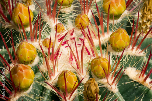 Fototapety, obrazy: Natural texture and pattern. Desert flora. Macro shot of a Ferocactus pilosus, also known as Mexican Fire Barrel. Its red and white thorns, yellow flower buds and green color.