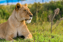 A Bold Lioness Relaxing