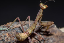 Small Brown Praying Mantis Close-up On A Branch, On A Dark Background. Macro Photography