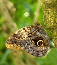 An Owl Butterfly Perched On A ...