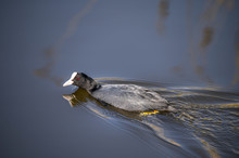 Black Coot Swimming On The Wat...