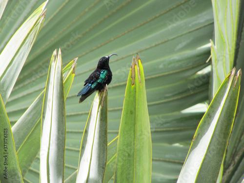 Photo Colibri au reflets verdoyants sur fond de palmiers dans les jardins de Balata en