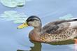 Głowa kaczka pływająca po jeziorze.