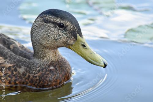 Głowa kaczka pływająca po jeziorze. - fototapety na wymiar
