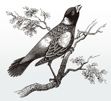 Singing Bobolink, Dolichonyx Oryzivorus In Side View Sitting On A Branch With Leaves, After An Antique Illustration From The 19th Century