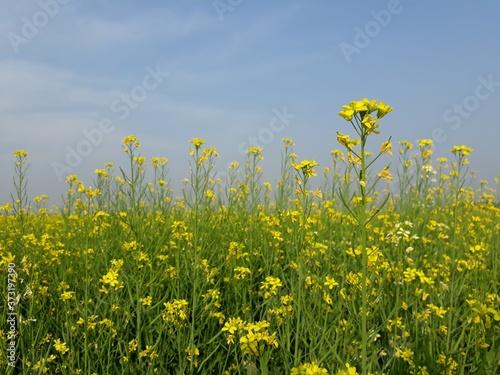 Fototapeta field of yellow flowers, mustard flowers field in India,  beautiful yellow color mustard flower in India,  mustard flowers landscape